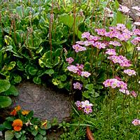 Цветок камнеломка фото посадка