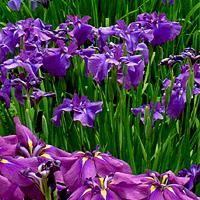 Ирисы: посадка и уход в открытом грунте - радуга красок в вашем
