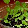 Выращивание рассады баклажан в домашних условиях: посадка на рассаду, пикировка, болезни и пр.