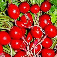 посев редиса в открытый грунт