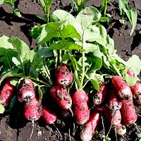 выращивание редиса в открытом грунте