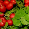 Какие семена редиса лучше: выбор и подготовка к посеву, лучшие и ранние сорта редиса.