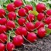Как вырастить редис: выращивание и уход, агротехника и подкормка для хорошего урожая.
