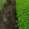 Выращивание редиса в теплице: технология посадки, время посева и лучшие сорта.