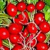 Посев редиса в открытый грунт: посадка и выращивание под пленкой, агроволокном и без них.