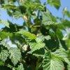Как размножить малину: размножение черенками, семенами, корневыми отпрысками и пр.