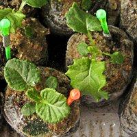 посев примулы семенами на рассаду