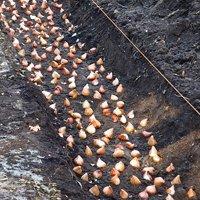 тюльпаны посадка и уход в открытом грунте весной
