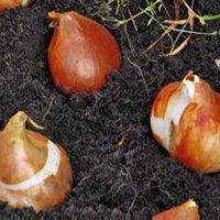Размножаются ли тюльпаны семенами
