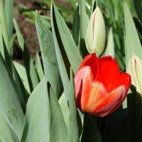 можно ли пересаживать тюльпаны весной до цветения