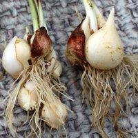 Как сохранить луковицы тюльпанов до посадки осенью