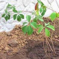 как посадить дикий виноград