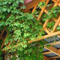 как посадить девичий виноград на даче