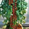Помидор Рапунцель: описание сорта, прогнозы продажи семян, похожие сорта томатов-черри.