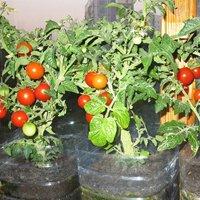 как вырастить помидоры на подоконнике зимой