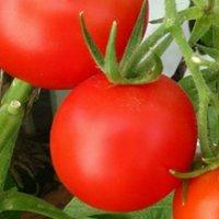 томаты на подоконнике зимой