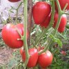 Томат Чудо земли: описание сорта помидор, агротехника и отзывы.