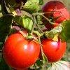 Томаты для теплицы из поликарбоната: лучшие сорта разных видов помидор.