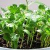 Как вырастить петрушку на подоконнике: зимой и летом выращиваем петрушку дома.