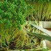 Как вырастить кресс-салат на подоконнике: отличия от выращивания салата дома.