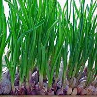 как посадить чеснок дома в горшке