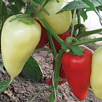 Сладкий перец Биг Мама отзывы описание характеристика