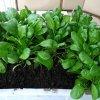 Как вырастить шпинат на подоконнике: выращивание шпината из семян зимой и летом.