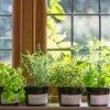 Зелень на подоконнике круглый год: выращиваем щавеь, кинзу, сельдерей и пр. зелень дома.