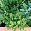 Пряные травы на подоконнике: выращиваем шалфей, мелиссу, тимьян и пр. пряности дома.