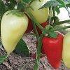 Сладкий перец Белозерка: отзывы овощеводов, описание сорта и агротехники.