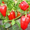 Перец Атлант: отзывы овощеводов, описание сорта и особенностей выращивания.