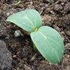 Новые сорта огурцов на 2016 год: многообещающие новинки семян разных агрофирм.