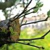 Прививка яблони весной: сроки и способы как привить яблоню пошагово.