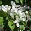 Уход за яблоней весной: весенняя подкормка, выбор удобрения, полив и пр.