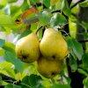 Посадка груши весной: как правильно посадить или пересадить грушу весной.