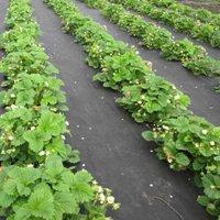 Посадка клубники весной в открытый грунт