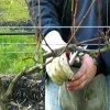 Обрезка винограда весной для начинающих: как обрезать виноград весной правильно.