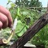 Прививка винограда весной для начинающих: сроки, время и способы весенней прививки.
