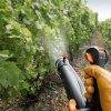 Обработка винограда весной от болезней и вредителей: опрыскивание после открытия.