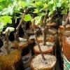 Размножение и посадка винограда весной черенками: как черенковать, хранить и сажать.
