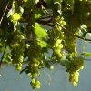Весенняя подкормка винограда: чем удобрять виноград весной, чем, когда и как подкормить.