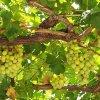 Уход за виноградом весной: когда открывать виноград, какие весенние работы проводить.