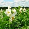 Посадка картофеля по голландской технологии: голландский метод посадки и выращивания картошки.