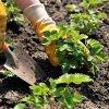 Посадка клубники весной в открытый грунт: как сажать клубнику весной, сроки и правила.
