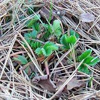 пересаживание клубники весной