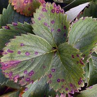 чем опрыскивать клубнику весной от болезней
