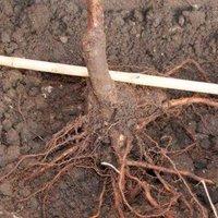 Как сажать косточковые дерев 65
