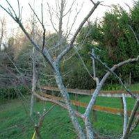 Как сажать косточковые дерев 12