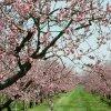 Уход за персиком весной: посадка, пересадка, прививка, удобрение и пр.