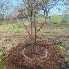Посадка вишни весной: как посадить вишню саженцами, пошаговая инструкция для начинающих.